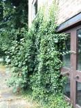 Litherop - front door ivy dn