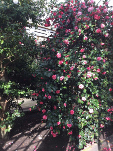 Camellia House in full bloom